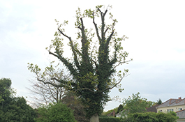 Dead Wood Removal 2 - Goodwood Tree Surgery
