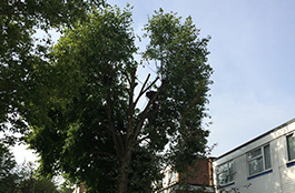 Crown Reduction Before - Goodwood Tree Surgery