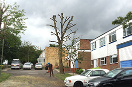 Crown Reduction After - Goodwood Tree Surgery
